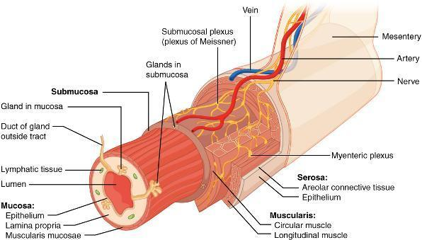 smooth muscle - answers on healthtap, Cephalic Vein