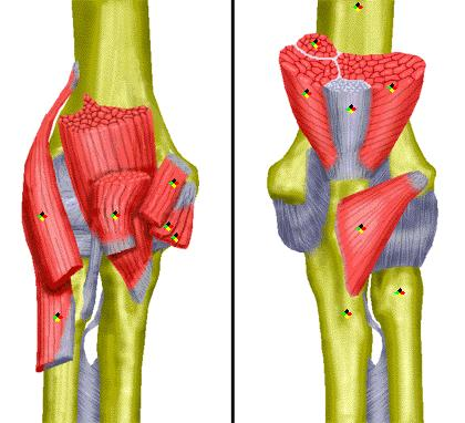 What muscle groups are the most important in flexion and extension of the elbow?