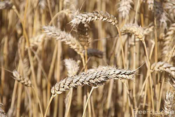 What happens for someone with a wheat allergy? Cant eat things from wheat flour?