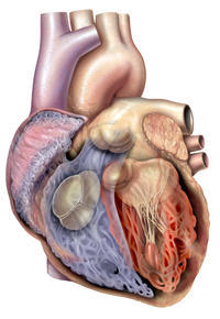 With a structurally normal heart, what heart disease cause palpitations?