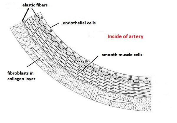 What are endothelial cells?