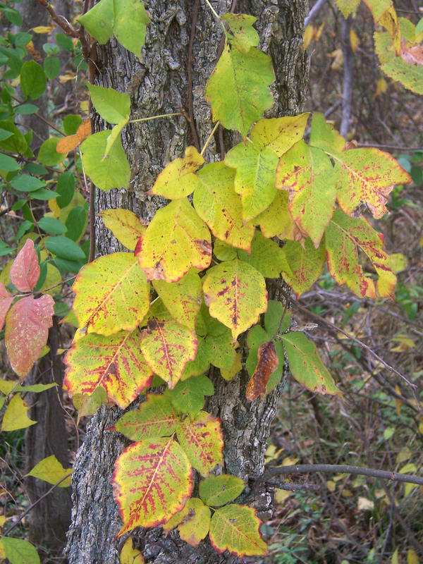 How should I treat poison ivy