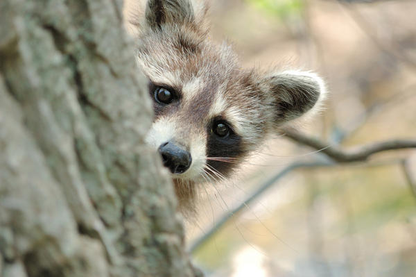 Could I get rabies if raccoons tore up my garbage and left it everywhere. I walked barefoot on the grass where it was with wounds on my feet. It rained?