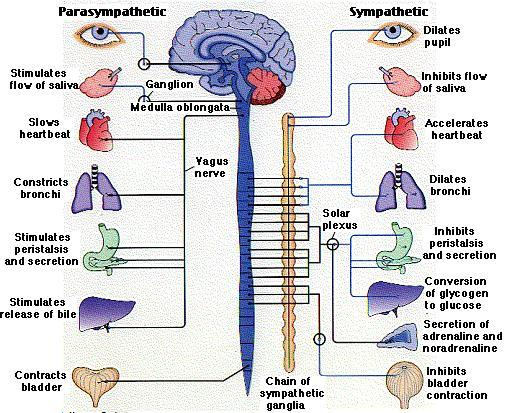 Vagus_Nerve.jpeg?1440364223