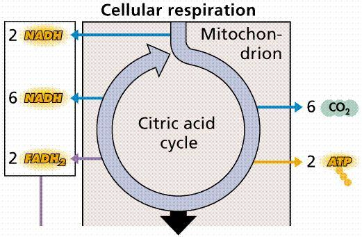 How is the rate of cellular respiration measured?