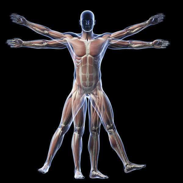 What are the dorsal and ventral surfaces on humans?