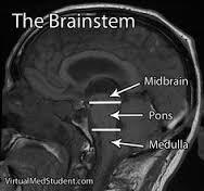 How large is the brainstem?
