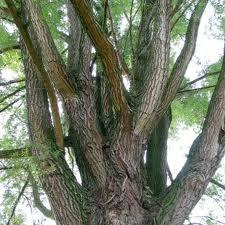 How will white willow help a chronic backache?