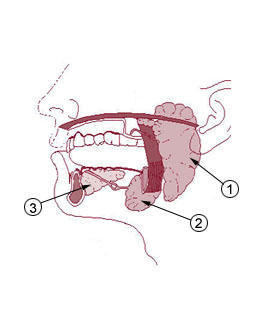 Is it normal to have induration just below earflap and 2 cm above the mandibular angle between ramus of the mandible and sternocleidomastoid muscle?