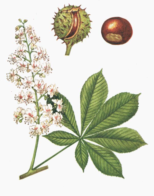 Are white chestnut drops a homeopathic remedy?