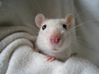 Can house mice and rodents get rabies? I recently pricked myself with a needle which possibly had mice spit on it! Should I be worried?