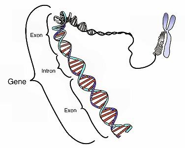 What is the anti-dna antibodies?