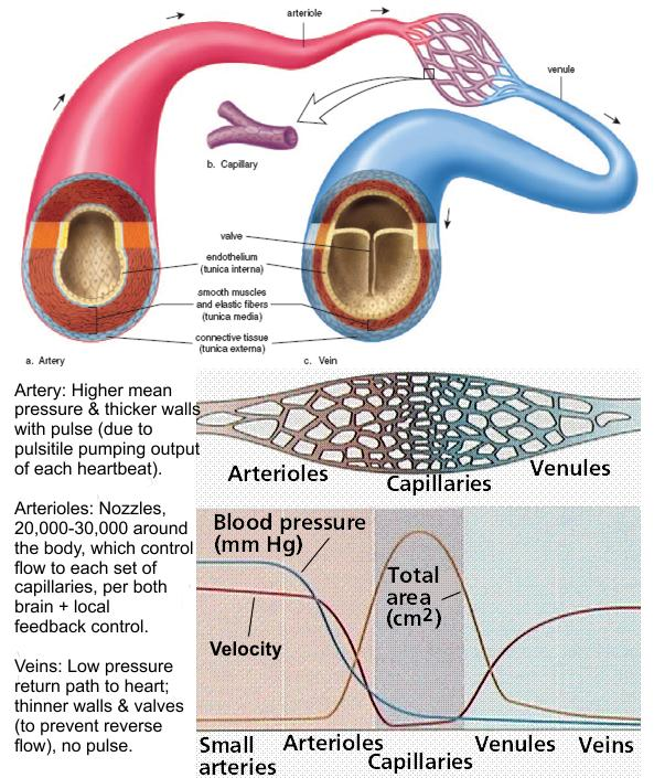 What is the definition or description of: artery?