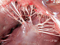 What are the points of attachment of the chordae tendineae?