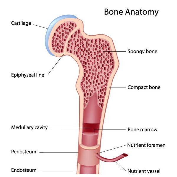 What is the main function of the epiphyseal plates in bones?