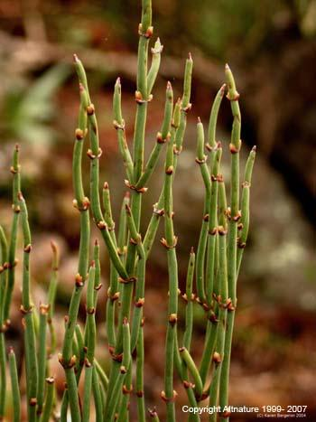 What is the difference between herbal ephedra and ephedrine (ephedrine sulfate) HCl itself?
