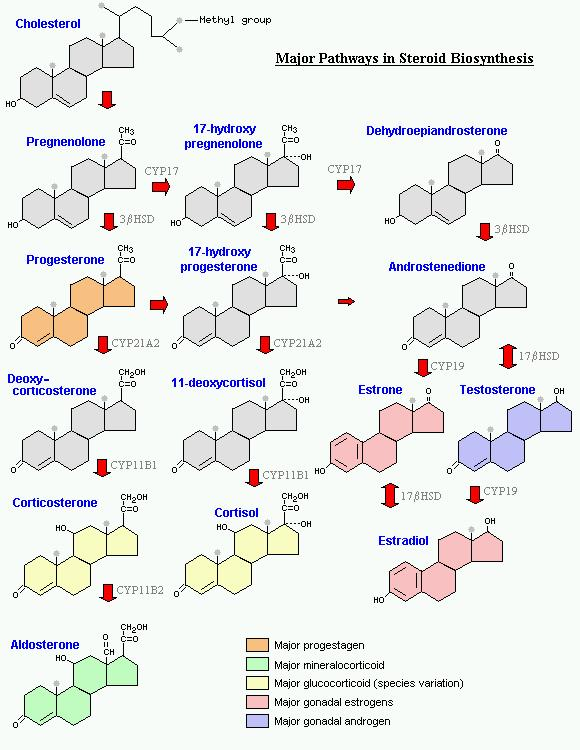 synthesis of steroid hormones in the adrenal cortex