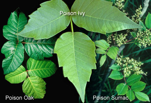 Are shingles or poisen oak contagious? Are they related or similar problems?