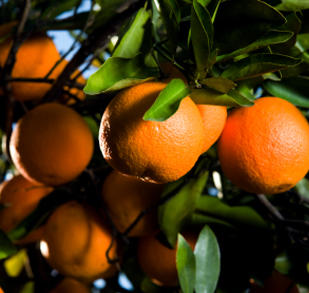 To get vit. C, is all you have to do is eat a tangerine before every meal?