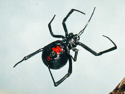 What does a black widow spider look like?