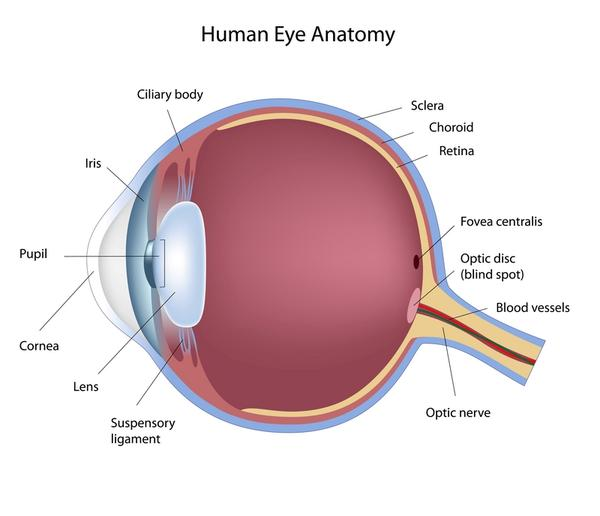 What are the functions of the optic nerve, the retina, the iris, the cornea, and the pupil?
