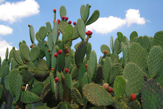 What are the nutritional benefits of prickly pear cactus paddles?