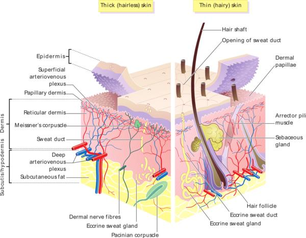 Which layer of skin does scleroderma affect?