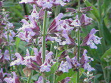 What are the medical uses for herbal sage?