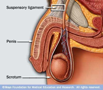 My friend stretched out his penile suspensory ligament (injury), tell me what should he do!?