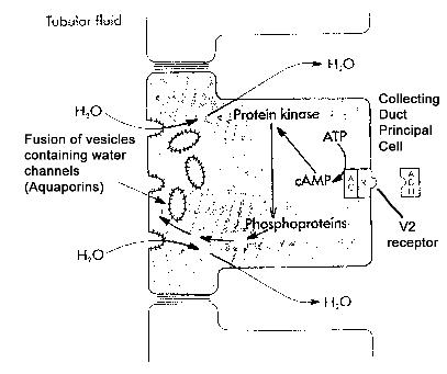 What is the relationship between ADH (vasopressin) and aqp2 in urine production?