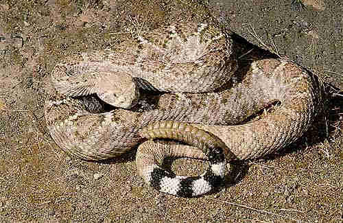 What is the prognosis if you are bit by a rattlesnake?