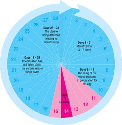 Approximately when does ovulation occur?