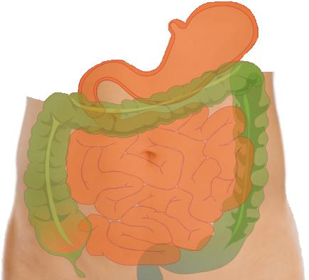How long is the average human intestinal tract?