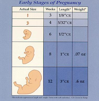 First stage of pregnancy is which weeks?