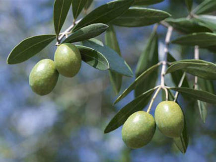 What good is about olive leaf extract?