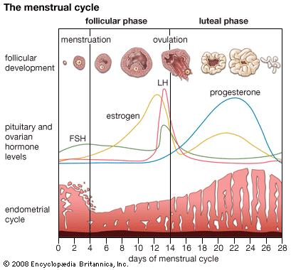 What is the period in which one can become pregnant (with menstrural cycle of every 28 to 30 days) and when is it safe to do to prevent pregnancy?