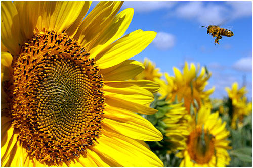 Are sunflowers a common cause of allergy?