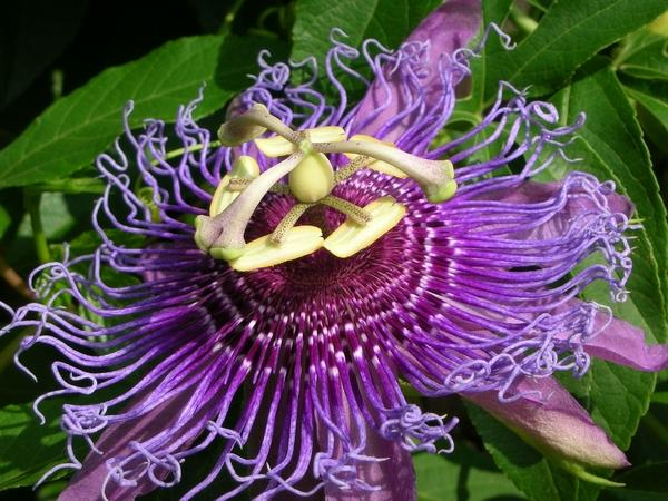 Does anyone know about passion flower and its efficacy for anxiety.Does it affect on serotonin or some other mechanism?