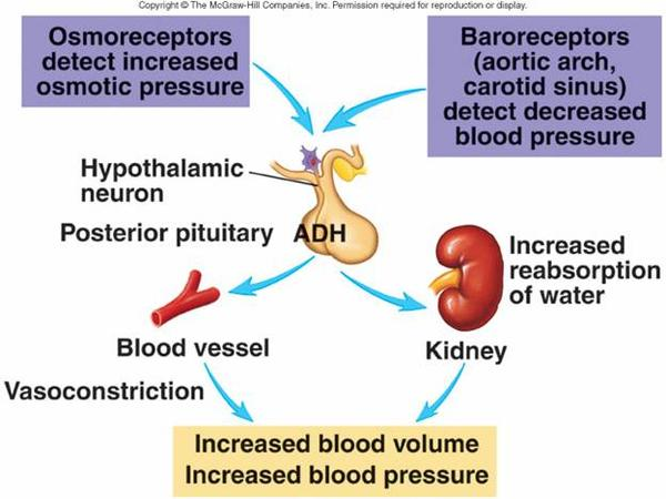 What is the relationship between ADH (vasopressin) and aqp2 in urinary system?