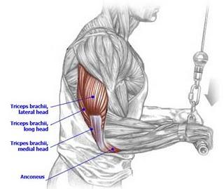 What types of movement do the tricep long head, lateral head, and medial do?