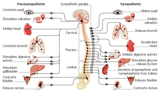 Can you describe the dysfunction of the autonomic nervous system?