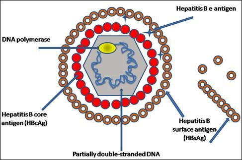 What is hepatitis b surface antigen in general?