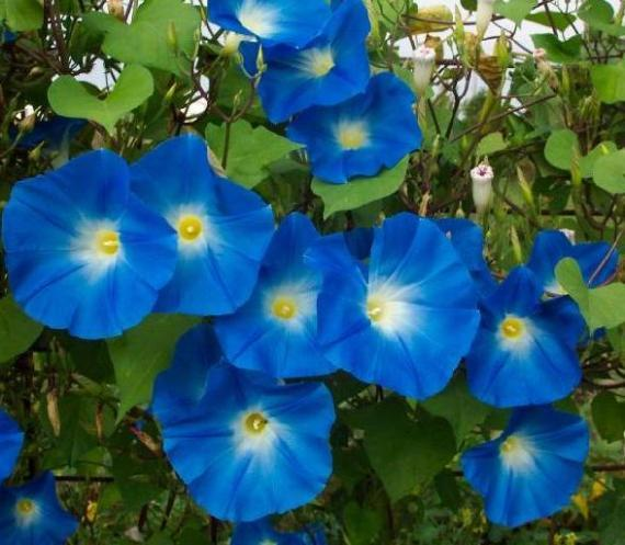 Are there any medicinal effects to buying morning glory seeds?