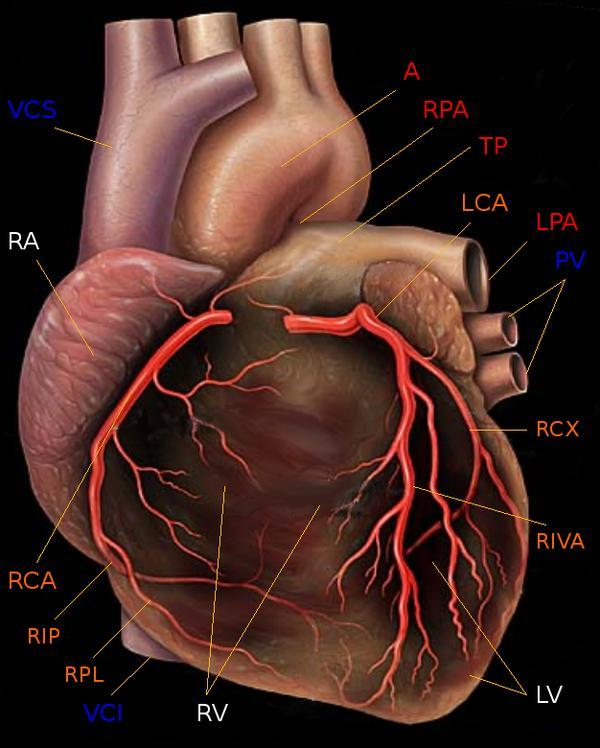 Need to know if I have a risk factor of coronary artery disease?