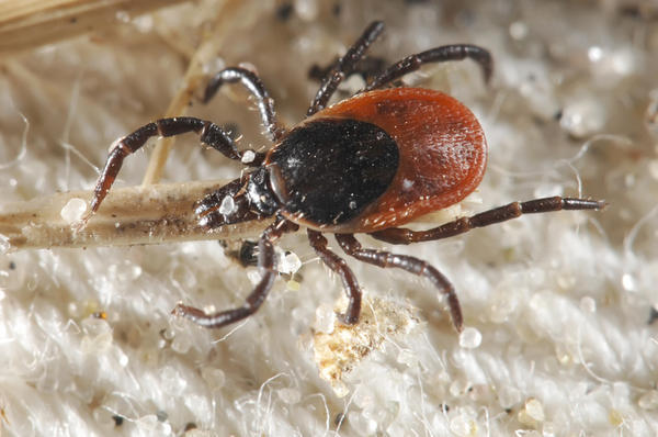 What cause result from a tick bite?