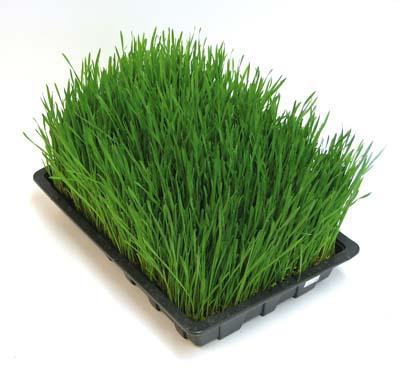 Benefits of wheatgrass?