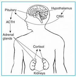 Can adrenal hypo function affect the heart rate?