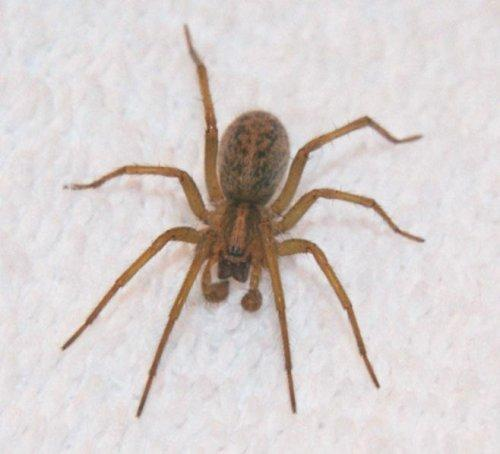 What should I do for treatment if any of hobo spider bite?
