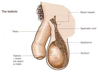 Can the size of testes decrease after the age of 25 if yes then due to what reasons tel in detail?