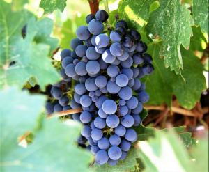 What benefits can we get from grape-seed?
